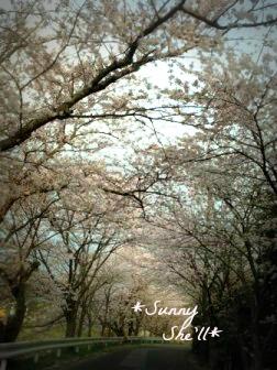 sakura3292013.jpg