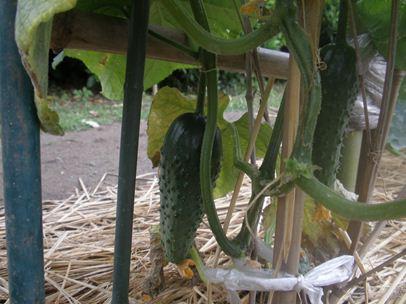 胡瓜201201