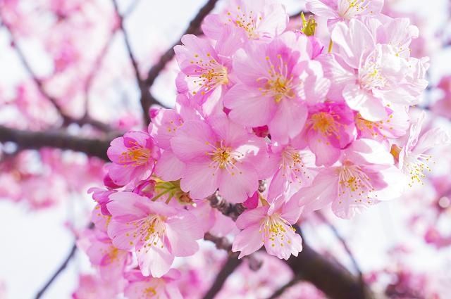 2012,90218 桜③