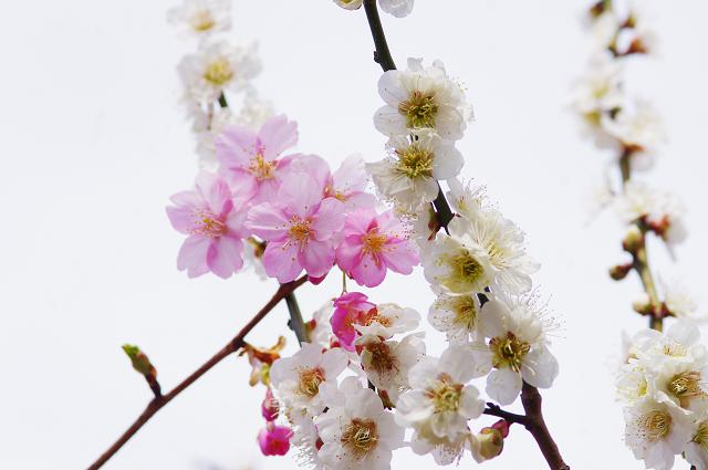 2012,90221 梅桜