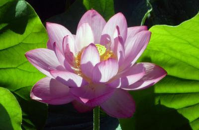 蓮の花2_convert_20120731210145