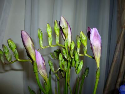 紫のフリージア