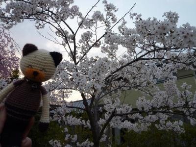 散歩道の公園・桜