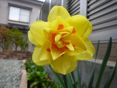 水仙・黄色