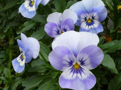 ビオラ・紫