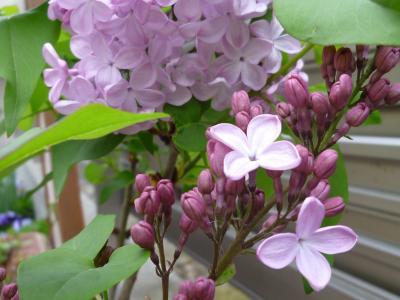 ライラック・うす紫