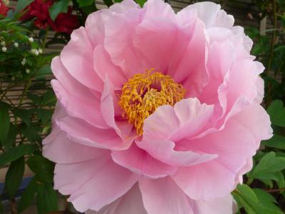 ピンク・牡丹