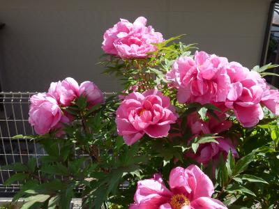 ピンクの牡丹