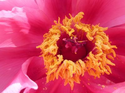 うすピンクの牡丹