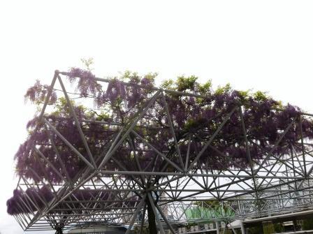 東京ビックサイトの藤の花