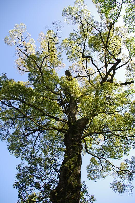 9立派な杉の木