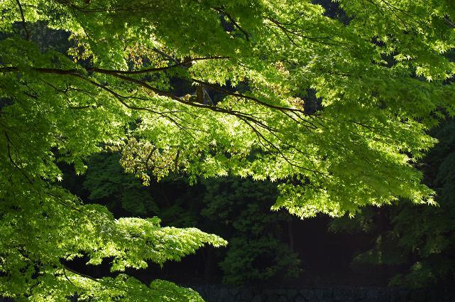 10照らされる新緑の紅葉