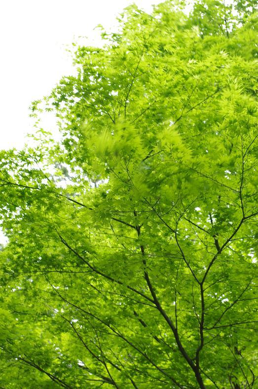13風になびく新緑の紅葉