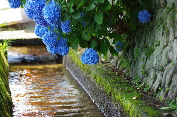 4水路の上に咲くアジサイ