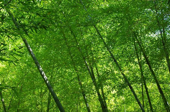 13雨上がりの竹林
