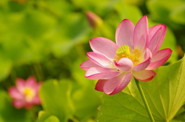 3咲き誇る睡蓮