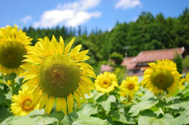 9元気な向日葵たち
