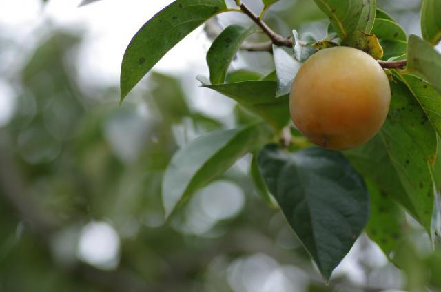 13色付く柿