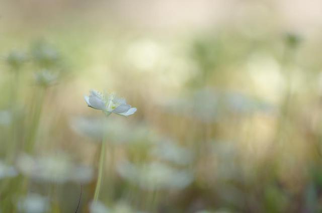 13ウメバチ草