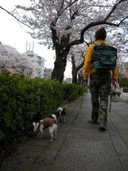 13年桜5