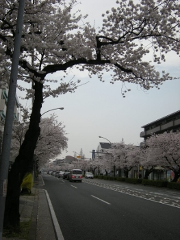 13年桜1