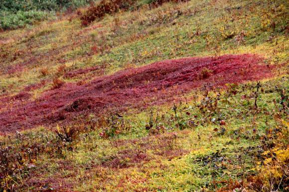 チングルマ紅葉2