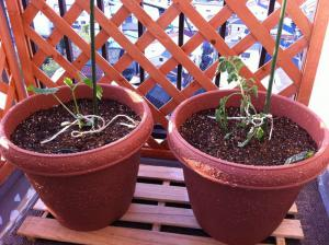 20120423-01 cucumber  tomato (800x598)