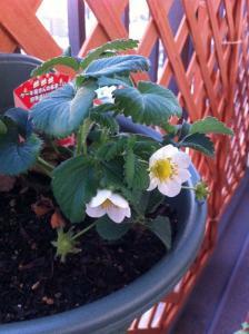 20120428-02 strawberry (598x800)