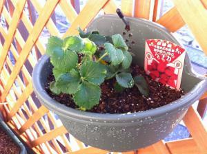 20120423-02 strawberry (800x598)
