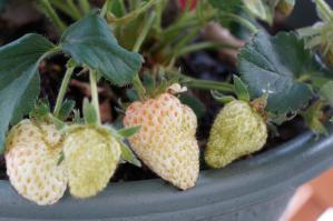 20120526-04 strawberry (800x532)
