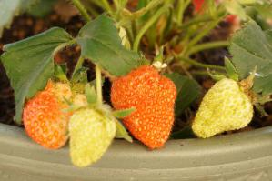 20120527-05 strawberry (800x532)