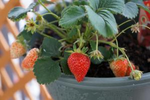20120605-09 strawberry (800x532)