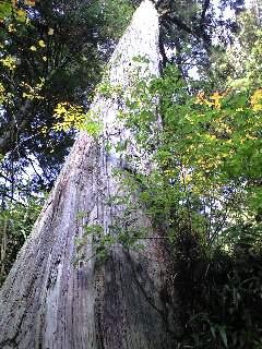 こうやさん34 荒野杉