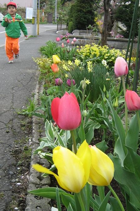 20120507_musuko_tulip_01.jpg