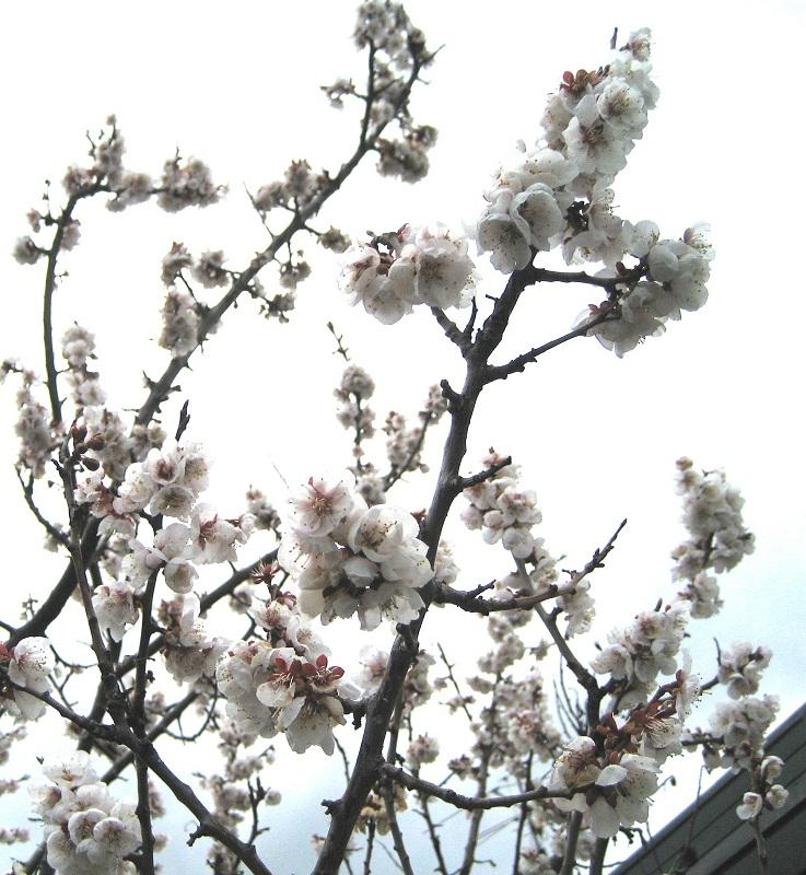 20120507_sakura_.jpg
