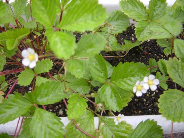 ワイルドストロベリーの花