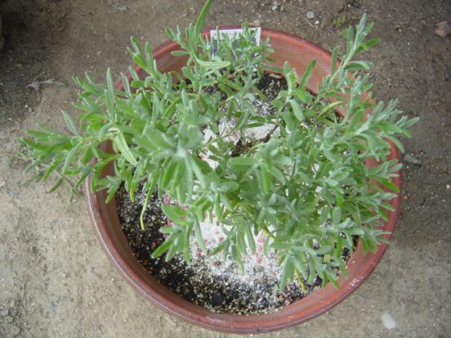鉢植えのおかむらさき1