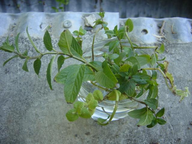 ミントの挿し木