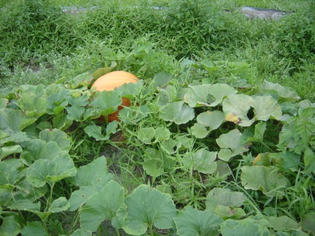 さらに巨大化_隣のかぼちゃ
