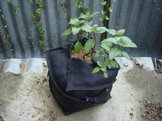 ブラックペパーミント20120830