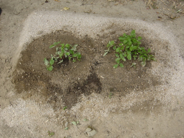 ワイルドストロベリーの地植え