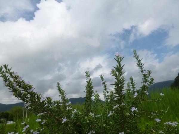 空とローズマリーの花