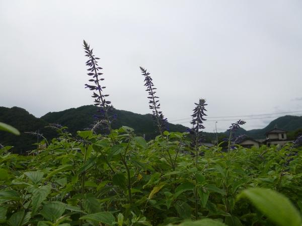 田んぼのセージ花穂