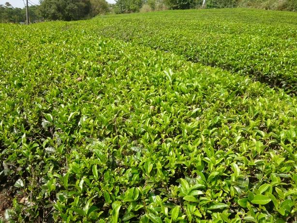 茶畑3.-1jpg