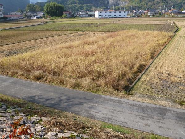 耕作放棄地の草20121106