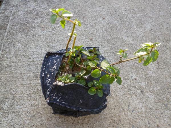 デニム鉢のミント20121226
