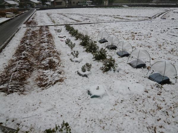 田んぼのハーブ20121228