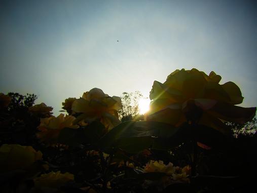 2012.5.25分 19日のバラ園巡り 12