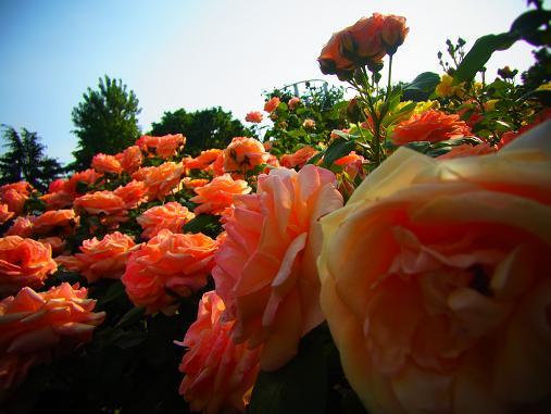 2012.5.25分 19日のバラ園巡り 8