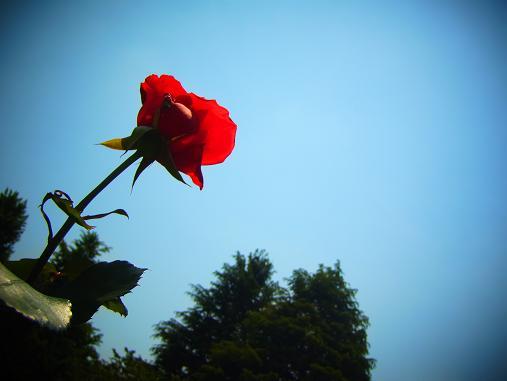 2012.5.25分 19日のバラ園巡り 1